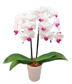 middy phalaenopsis to japan