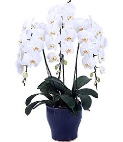 premium phalaenopsis orchid pot